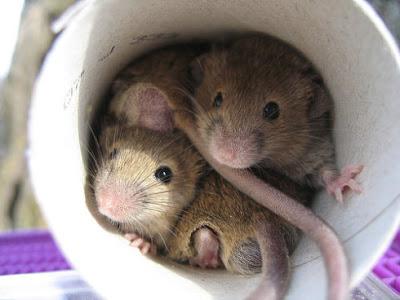Закажите у нас уничтожение мышей в доме