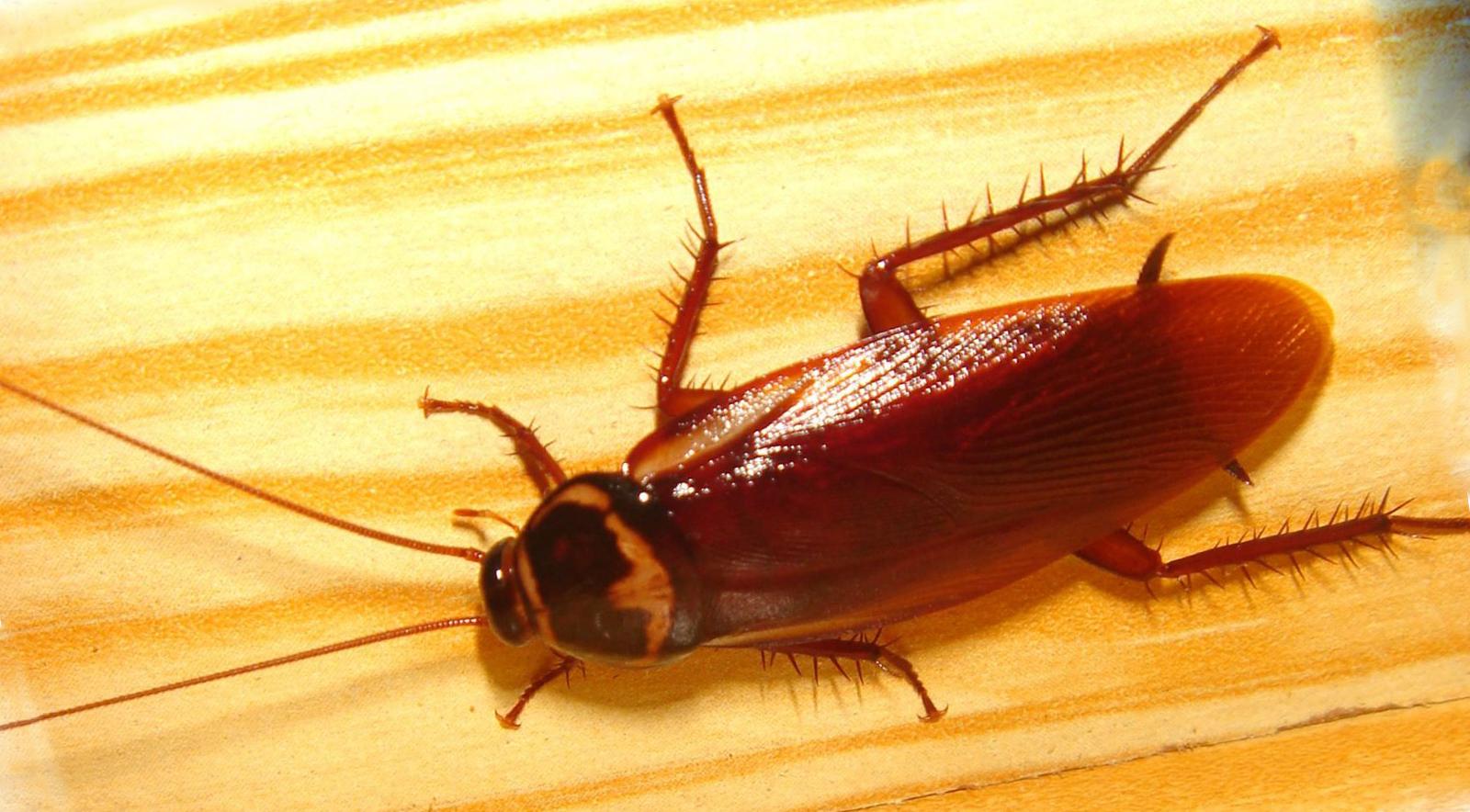 Как избавиться от тараканов в домашних условиях. Народные 272