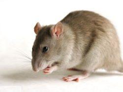 Методы борьбы с крысами в частном доме на территории всей Москвы недорого и качественно