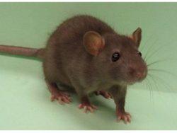 Проводим на территории всей Москвы меры борьбы с крысами