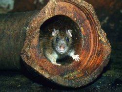 Эффективная борьба с крысами на территории всей Москвы недорого и качественно