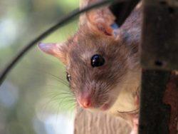 Борьба с мышами в квартире на территории всей Москвы недорого и качественно