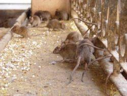 Проводим на территории всей Москвы недорогое и качественное уничтожение крыс по договору
