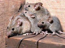 Проводим на территории всей Москвы недорогое и качественное уничтожение крыс в домах