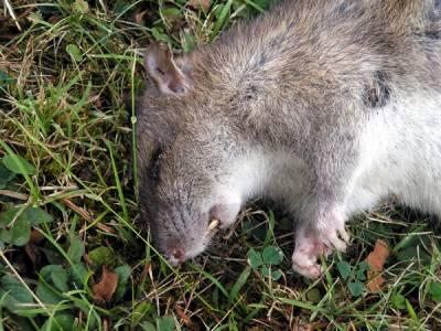 Закажите у нас профессиональное уничтожение крыс