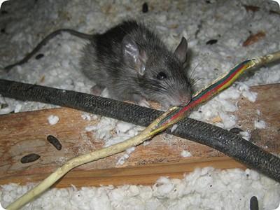 Закажите у нас уничтожение крыс в подвале