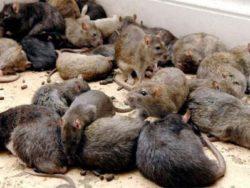 Проводим на территории всей Москвы недорогое и качественное уничтожение мышей в квартире