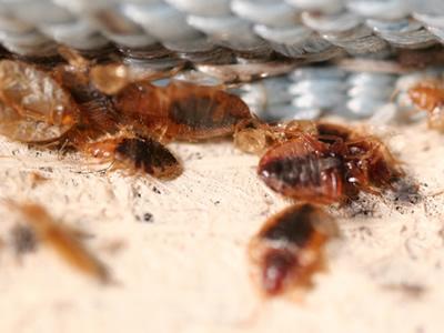 Укусы клопов - как избавиться от них:  только грамотная дезинфекция поможет побороть паразитов